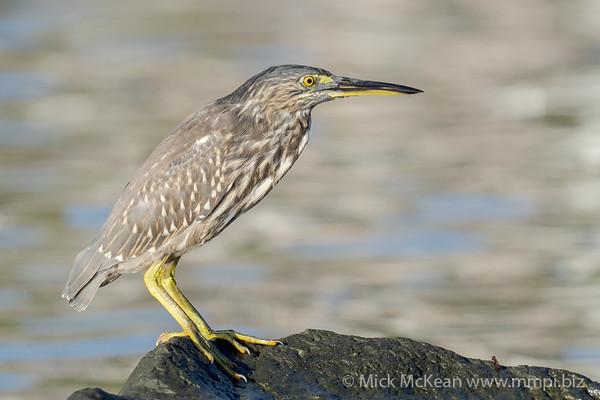 _7R45017 - Striated Heron (Butorides striata) standing on a rock beside a river.