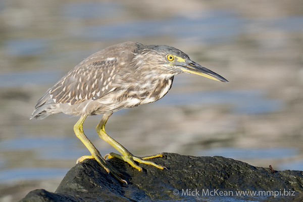 _7R45024 - Striated Heron (Butorides striata) standing on a rock beside a river.