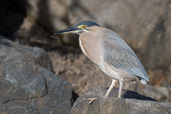 MMPI_20190830_MMPI0059_0071 - Striated Heron (Butorides striata) .