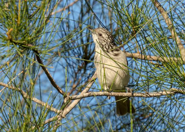 MMPI_20210410_MMPI0076_0007 - Striped Honeyeater (Plectorhyncha lanceolata) perching in a Casuarina tree.