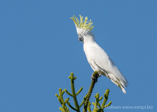 MMPI_20201002_MMPI0064_0020 - Sulphur-crested Cockatoo (Cacatua galerita) perching atop a conifer tree with its crest raised.