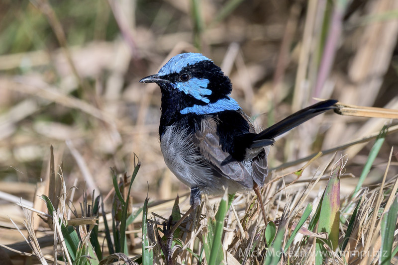 MMPI_20200516_MMPI0064_0015 - Superb Fairywren (Malurus cyaneus) (male) standing on grass.