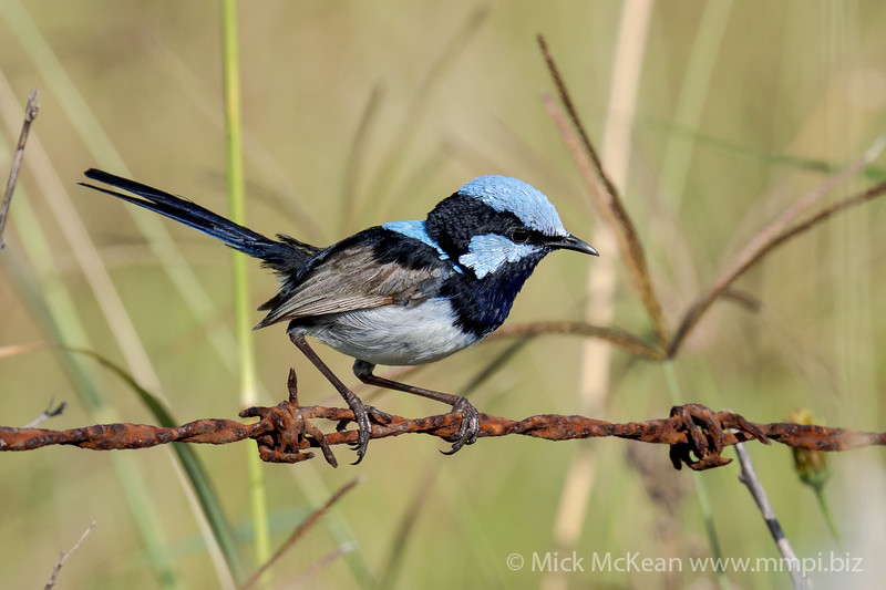 MMPI_20210130_MMPI0076_0008 - Superb Fairywren (Malurus cyaneus) (male) perching on a rusty barbed wire fence.