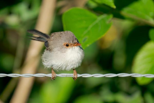 MMPI_20210410_MMPI0076_0016 - Superb Fairywren (Malurus cyaneus) (female) perching on a fence wire.