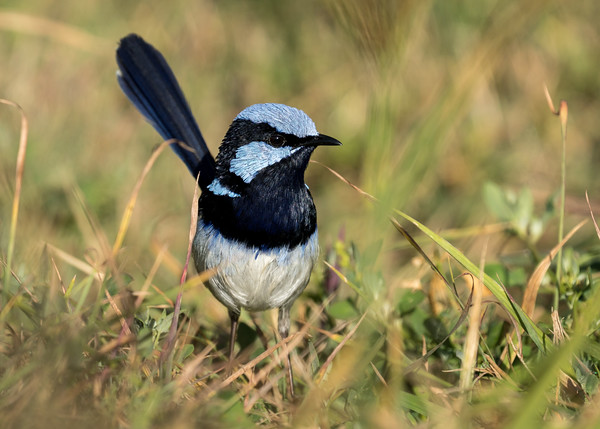 MMPI_20210821_MMPI0076_0015 - Superb Fairywren (Malurus cyaneus) (male) on the hunt for insects amongst the grass.