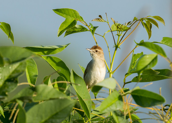 MMPI_20210130_MMPI0076_0002 - Tawny Grassbird (Megalurus timoriensis) perching in a small shrub.