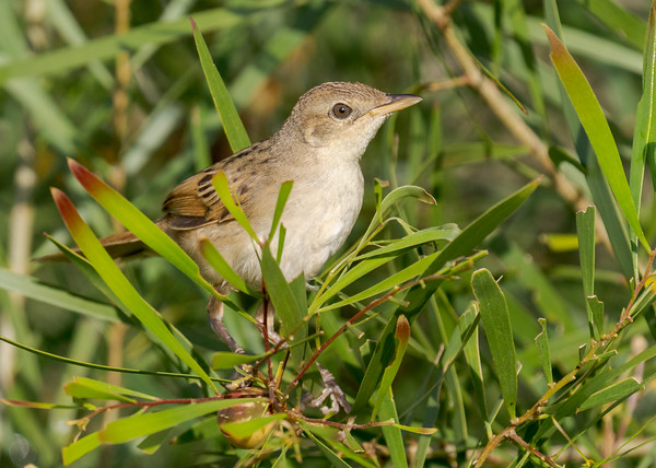 MMPI_20210402_MMPI0076_0011 - Tawny Grassbird (Megalurus timoriensis) perching in a shrub.