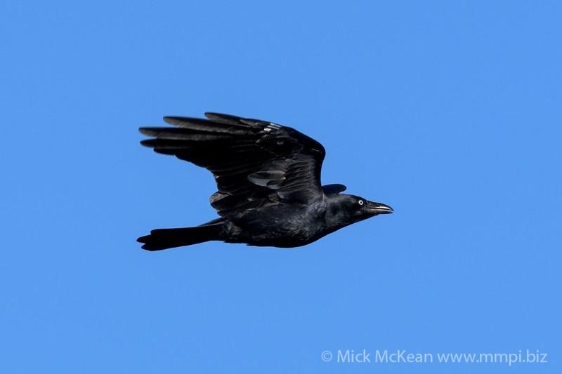 MMPI_20200413_MMPI0064_0020 - Torresian Crow (Corvus orru) .