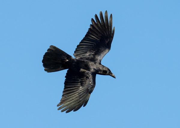 MMPI_20200910_MMPI0067_0070 - Torresian Crow (Corvus orru) in flight.