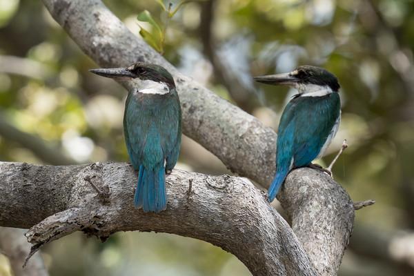 MMPI_20201107_MMPI0064_0014 - Torresian Kingfisher (Todiramphus sordidus) pair perching on a Mangrove tree branch.