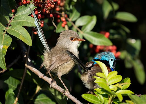 MMPI_20210821_MMPI0076_0018 - Variegated Fairywren (Malurus lamberti) pair perching in a Brazilian Pepper tree.