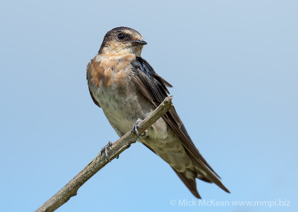 MMPI_20210130_MMPI0076_0027 - Welcome Swallow (Hirundo neoxena) (immature) perching on a dead branch.
