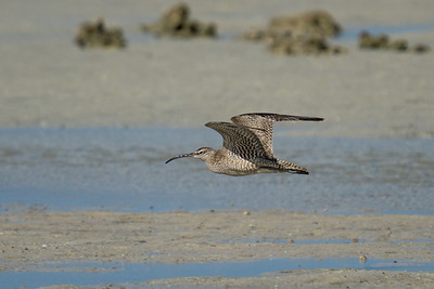 MMPI_20200910_MMPI0067_0065 - Whimbrel (Numenius phaeopus) in flight above the sandflats.