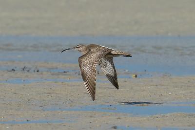 MMPI_20200910_MMPI0067_0066 - Whimbrel (Numenius phaeopus) in flight above the sandflats.