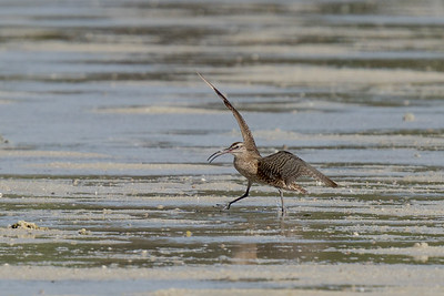 MMPI_20200910_MMPI0067_0064 - Whimbrel (Numenius phaeopus) landing on the sandflats.