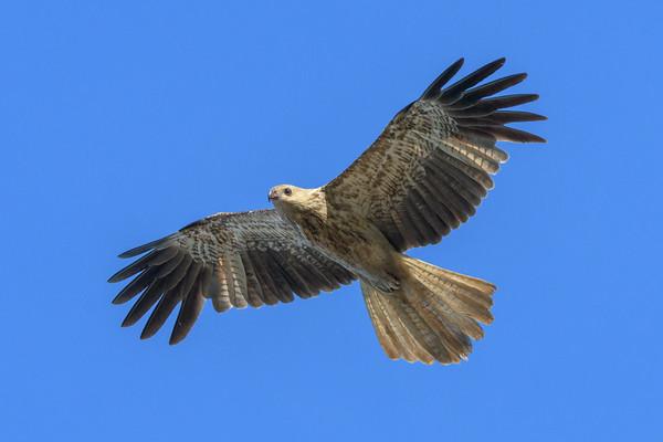 MMPI_20190828_MMPI0059_0016 - Whistling Kite (Haliastur sphenurus) .