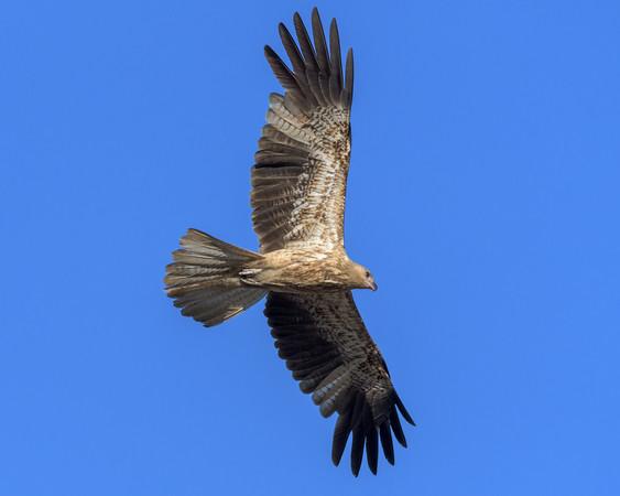 MMPI_20190828_MMPI0059_0015 - Whistling Kite (Haliastur sphenurus) .