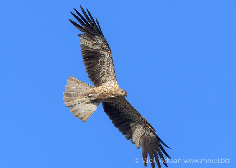 MMPI_20190828_MMPI0059_0014 - Whistling Kite (Haliastur sphenurus) .