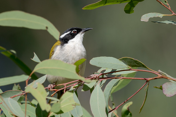 MMPI_20200503_MMPI0064_0006 - White-throated Honeyeater (Melithreptus albogularis) on the lookout for a meal in a Eucalypt tree.