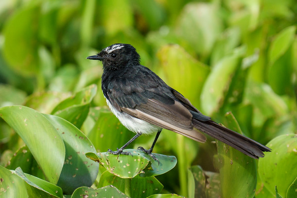 MMPI_20210130_MMPI0076_0010 - Willie Wagtail (Rhipidura leucophrys) standing on Water Hyacinth on a lake.