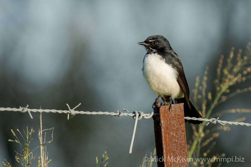 MMPI_20210410_MMPI0076_0014 - Willie Wagtail (Rhipidura leucophrys) perching on a fencing star picket.