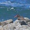 Female American Black Oystercatcher - Frazari Subspecies