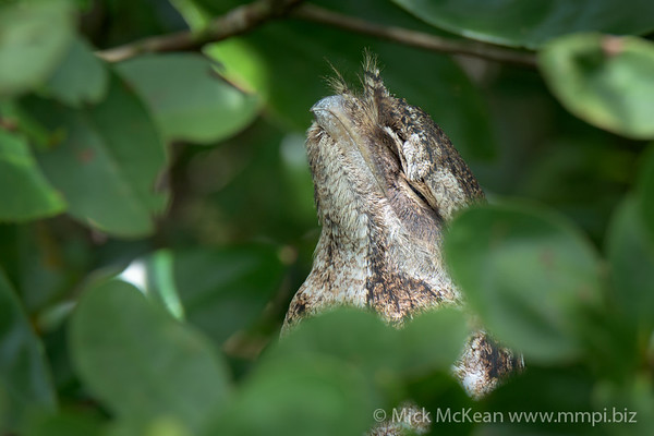 Papuan Frogmouth Playing the Hiding Game