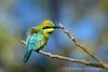 Iridescent Rainbow Bee-Eater