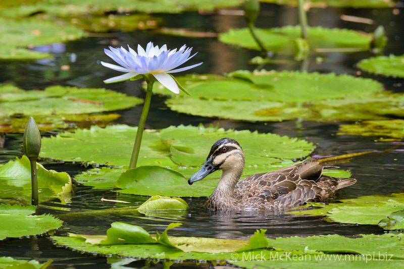 Pacific Black Duck and Waterlily Flower