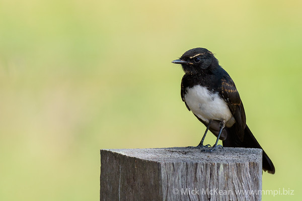 Willie Wagtail on a rustic fence post