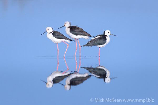 MMPI_20170812_MMPI0040_0030 - Pied Stilt (Himantopus leucocephalus) trio standing in a reflective lagoon.