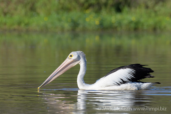 Australian Pelican (Pelecanus conspicillatus) swimming on the lake