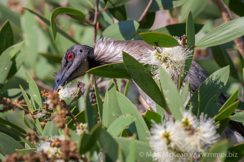 Noisy Friarbird (Philemon corniculatus) feeding on Melaleuca flowers