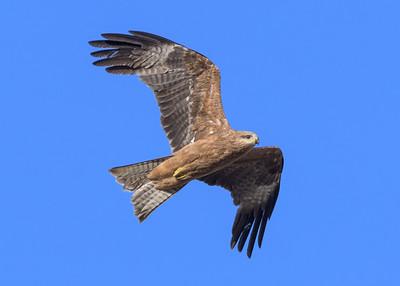 MMPI_20190828_MMPI0059_0009 - Black Kite (Milvus migrans) .