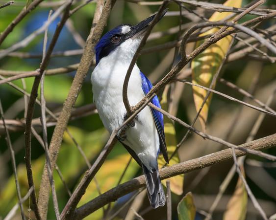 MMPI_20190828_MMPI0059_0005 - Forest Kingfisher (Todiramphus macleayii) .