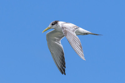 MMPI_20190829_MMPI0059_0006 - Greater Crested Tern (Thalasseus bergii) .