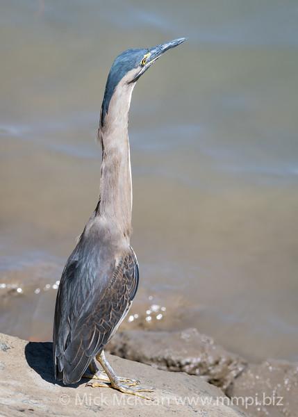 MMPI_20190829_MMPI0059_0004 - Striated Heron (Butorides striata) .