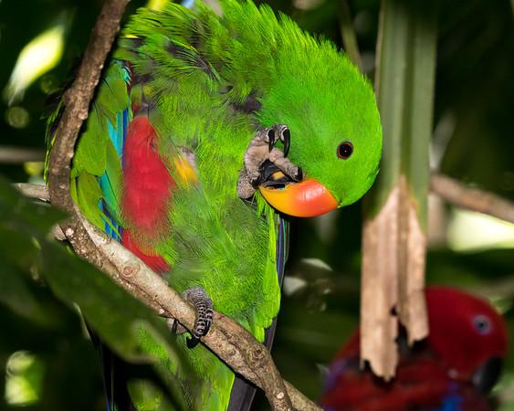 MMPI_20190828_MMPI0059_0003 - Eclectus Parrot (Eclectus roratus) .