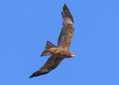 MMPI_20190828_MMPI0059_0011 - Black Kite (Milvus migrans) .