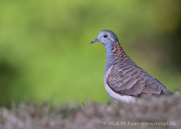 MMPI_20190829_MMPI0059_0025 - Bar-shouldered Dove (Geopelia humeralis) .