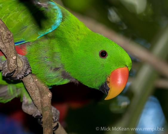 MMPI_20190828_MMPI0059_0002 - Eclectus Parrot (Eclectus roratus) .