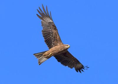 MMPI_20190828_MMPI0059_0010 - Black Kite (Milvus migrans) .