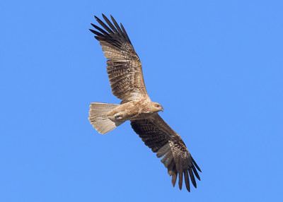 MMPI_20190828_MMPI0059_0013 - Whistling Kite (Haliastur sphenurus) .