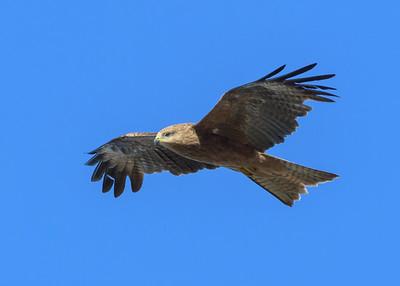 MMPI_20190828_MMPI0059_0012 - Black Kite (Milvus migrans) .