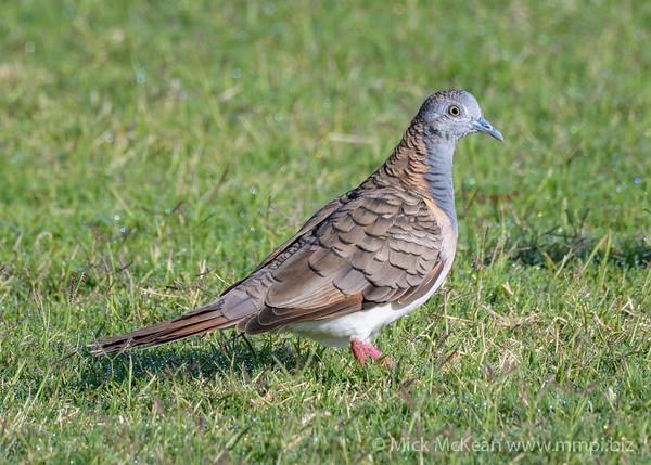 MMPI_20190830_MMPI0059_0019 - Bar-shouldered Dove (Geopelia humeralis) .