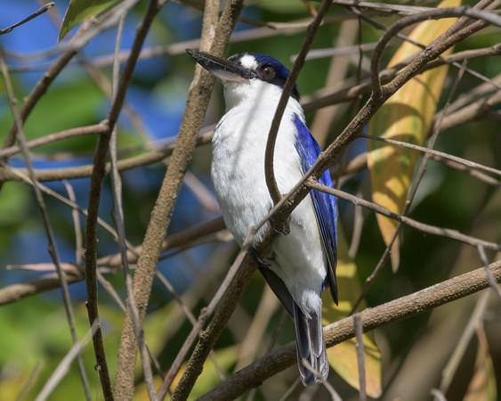 MMPI_20190828_MMPI0059_0007 - Forest Kingfisher (Todiramphus macleayii) .