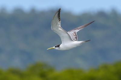 MMPI_20190829_MMPI0059_0008 - Greater Crested Tern (Thalasseus bergii) .