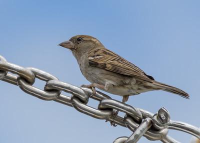 MMPI_20190829_MMPI0059_0009 - House Sparrow (Passer domesticus) .