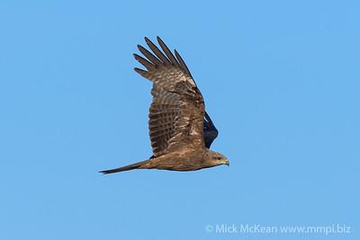 MMPI_20190828_MMPI0059_0008 - Black Kite (Milvus migrans) .