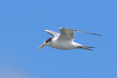 MMPI_20190829_MMPI0059_0007 - Greater Crested Tern (Thalasseus bergii) .